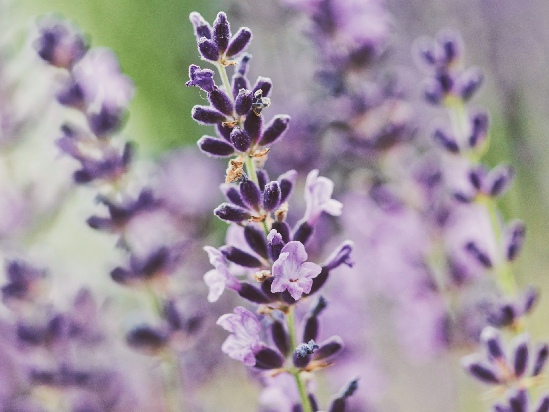 we produce a wide range of hydrolates such as lavender-hydrolate, organic (analogcert.)